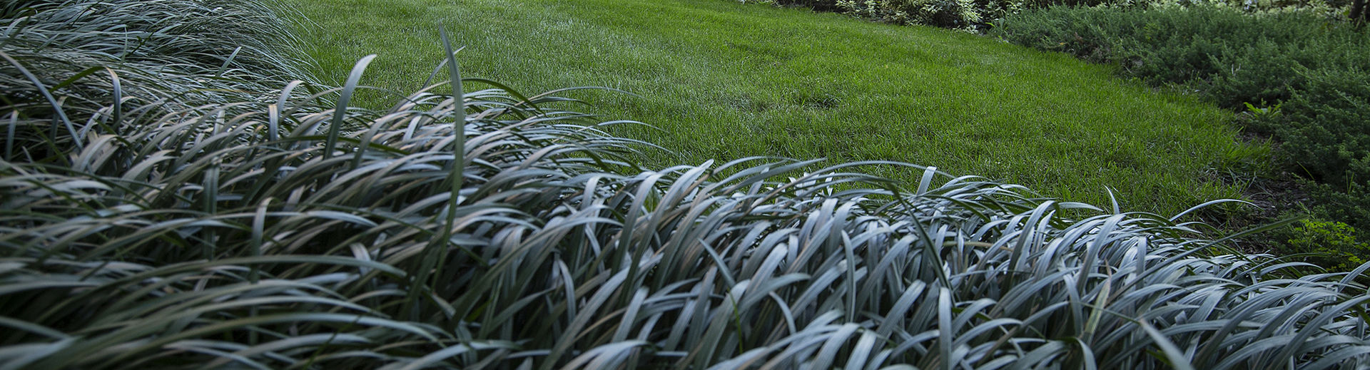 Blades of grass on a lawn