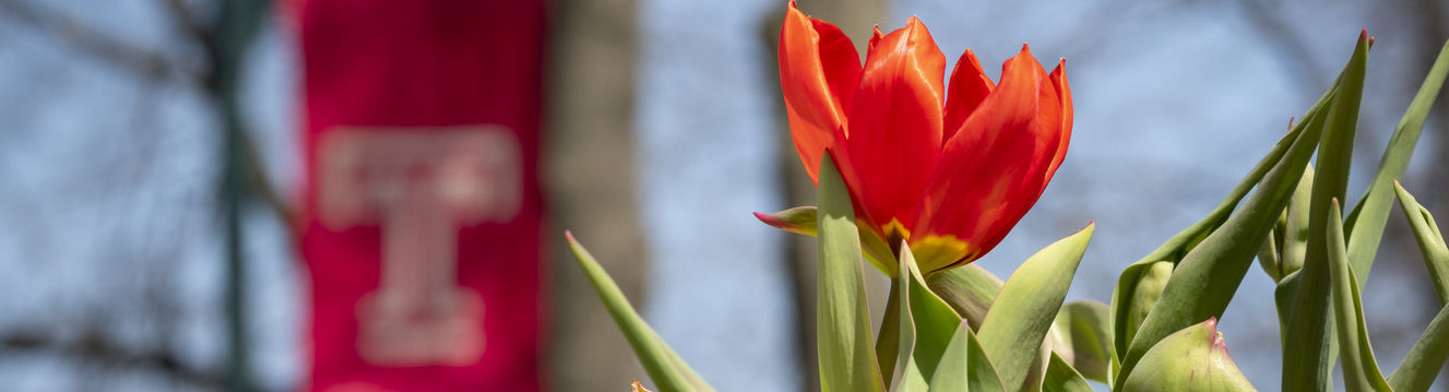 A tulip and the Temple flag.