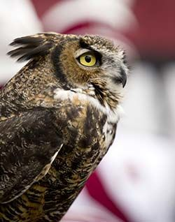 Temple mascot: Stella the Owl
